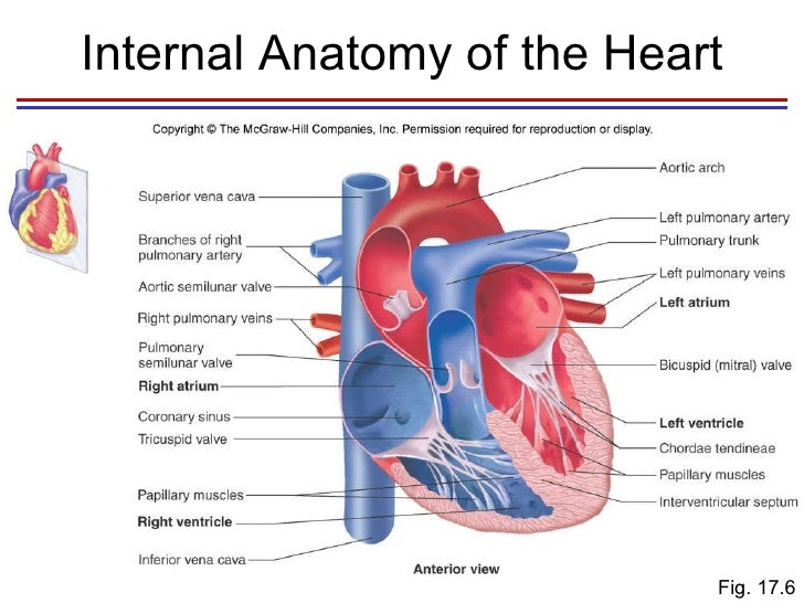 Diagram Of The Internal Anatomy Of The Heart - DIY Wiring Diagrams •