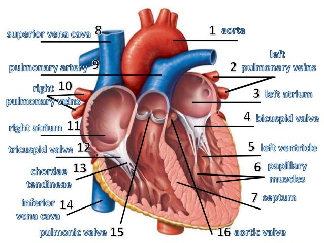 Anatomy Of The Heart 72099449