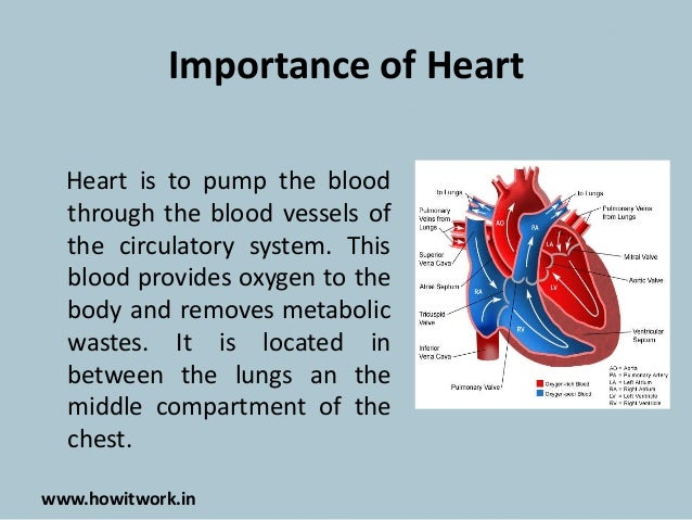 How does the human heart works?