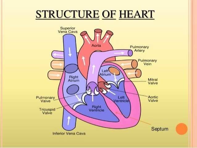 human heart-structure and function