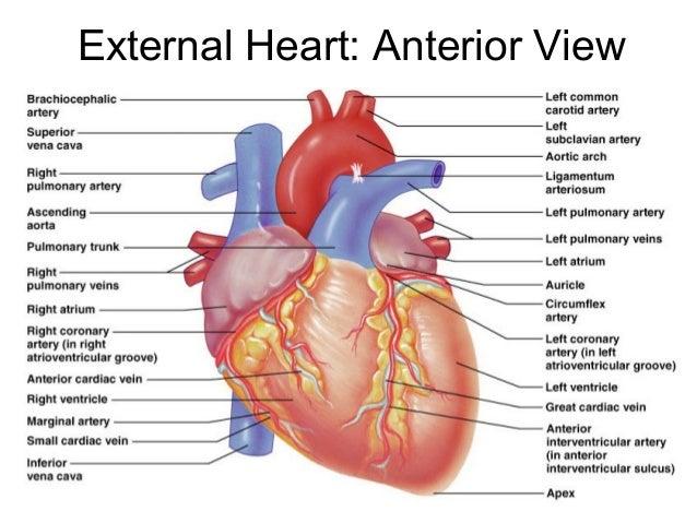 Serous Pericardium Heart Anterior View Diagram - Block And Schematic ...