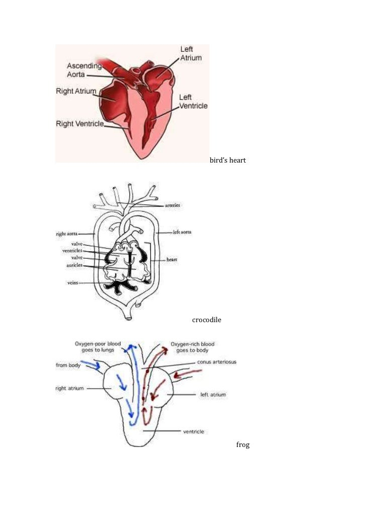 heart diagrams and notes