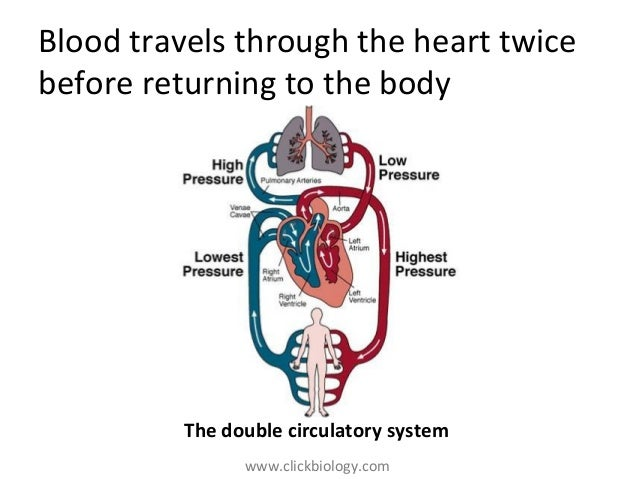 heart structure and function, Muscles