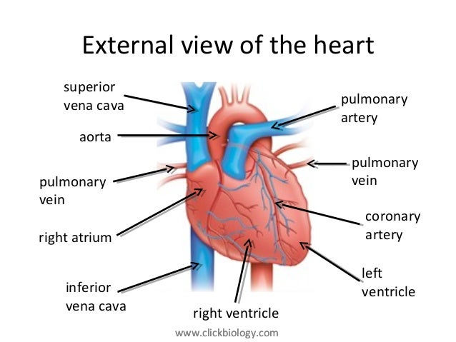Heart diagram artery function diy wiring diagrams heart structure and function rh slideshare net d1 artery heart diagram d1 artery heart diagram ccuart Gallery
