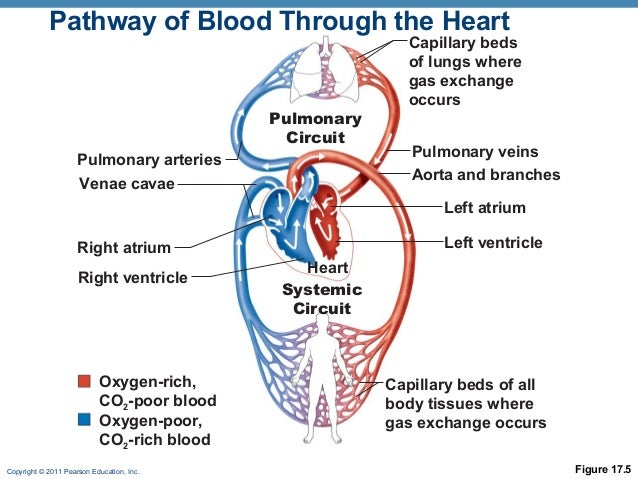 Heart 1 online pathway of blood through the heart ccuart Image collections
