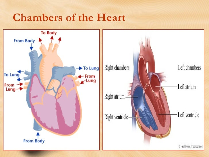 Heart Anatomy and Physiology:Review