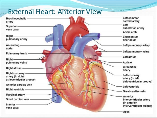 heart anatomy, Human Body