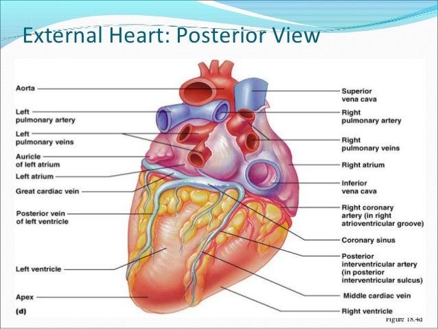 Great ... 20. External Heart: ...