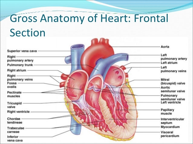 The heart anatomy