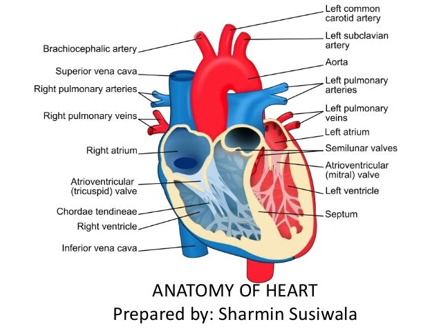 Anatomy of heart anatomy of heart prepared by sharmin susiwala ccuart Gallery