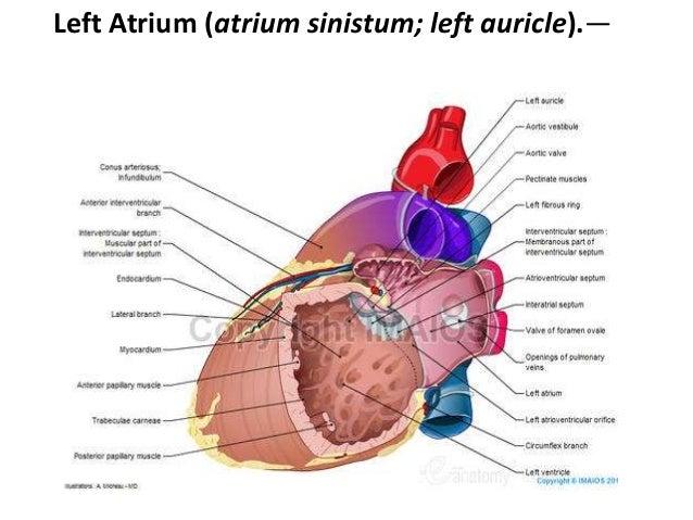 Anatomy of Heart..!!