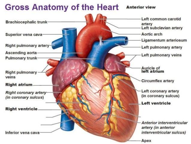 the heart cor the heart is a hollow muscular organ