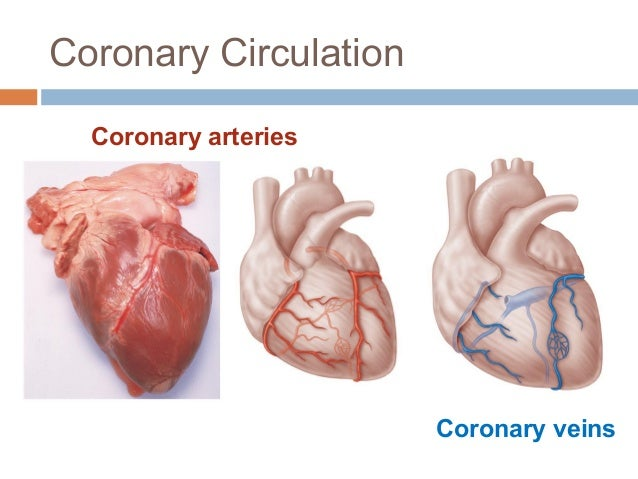 Anatomy & Physiology Lecture Notes - Heart anatomy