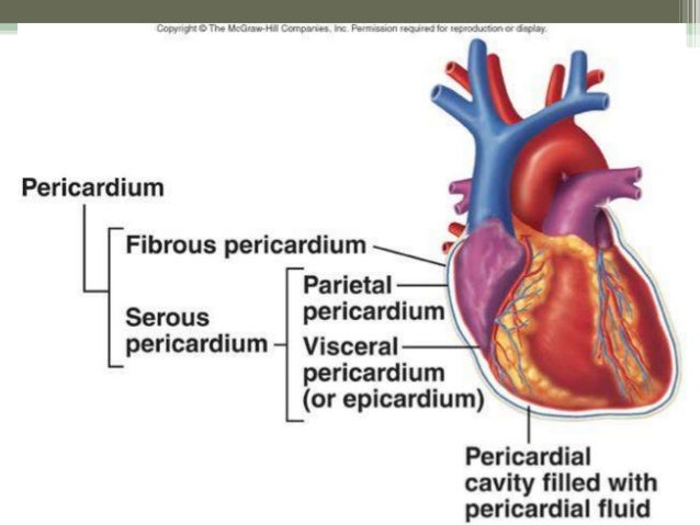 Inflammation endocardium diagram residential electrical symbols heart anatomy rh slideshare net endocardium of heart splenic vein diagram ccuart Choice Image