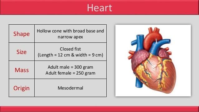 Anatomy of Heart Slide 3