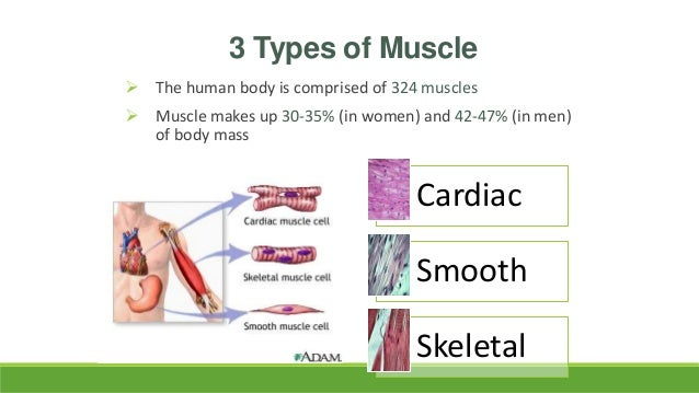 heart and voluntary, Muscles