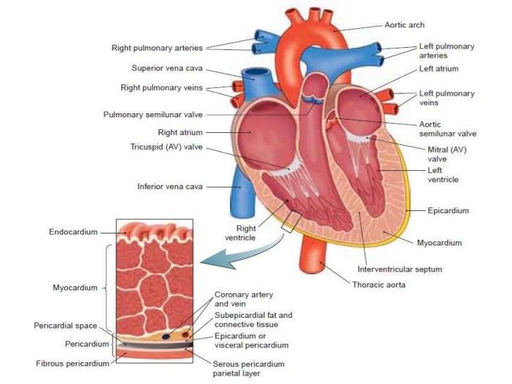 Heart layers diagram 2 2 electrical work wiring diagram heart assessment rh slideshare net heart wall tissue layers heart muscle layers diagram ccuart Choice Image