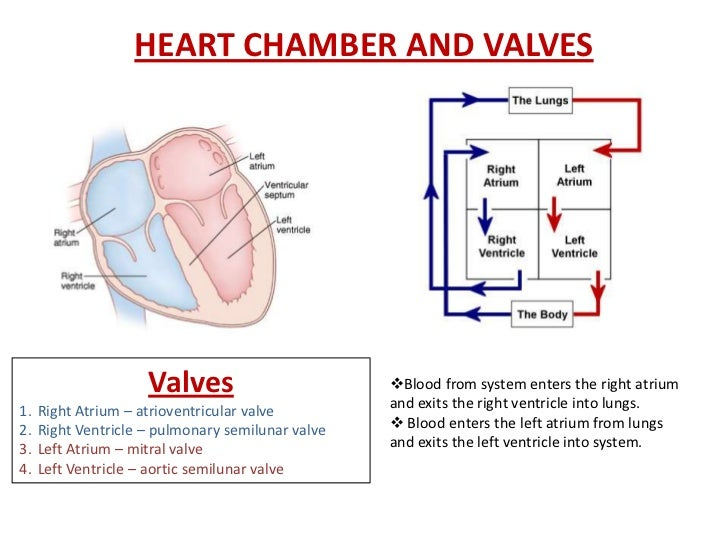 Heart chamber and valve diagram