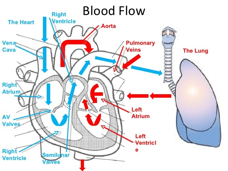 Diagram Of Blood Flow Through The Heart And Lungs - Smart Wiring ...