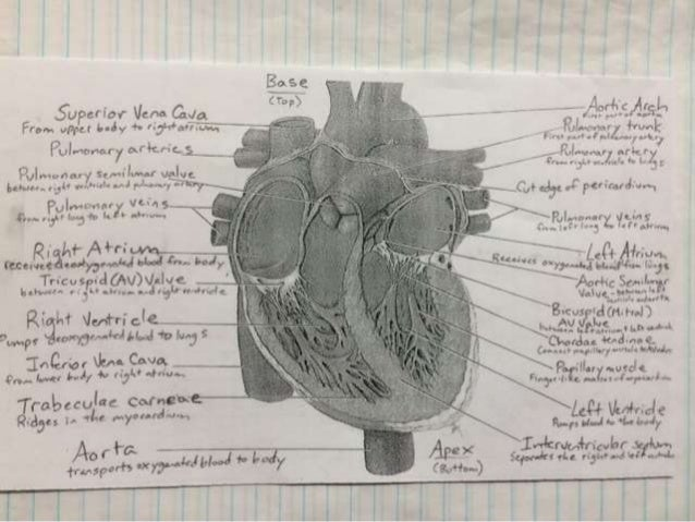 Heart diagram heart diagram 5 upc ior venn g a from vpcl 5iv w ccuart Image collections