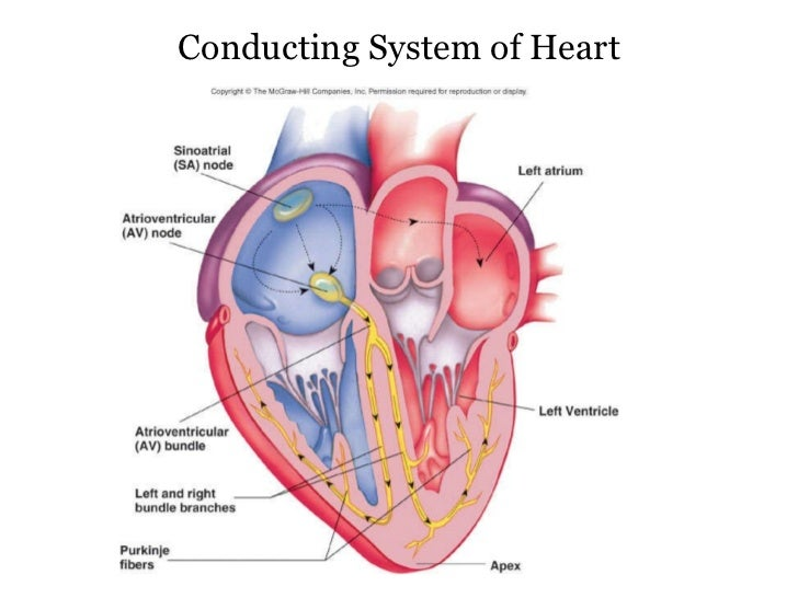 Heart Diagram Electrical Conduction Of The Time - Application Wiring ...