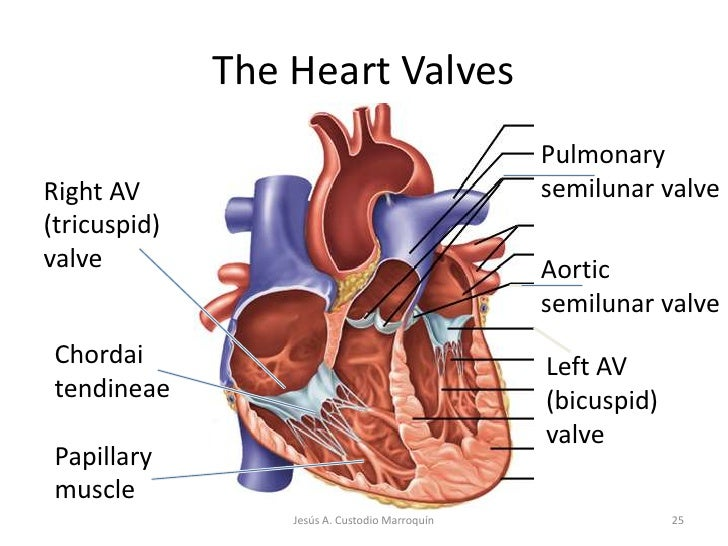 Heart anatomy 25 the heart valvesbr ccuart