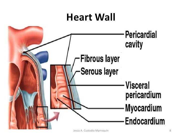 Heart anatomy heart wallbr 8br jess a custodio marroqunbr ccuart Image collections