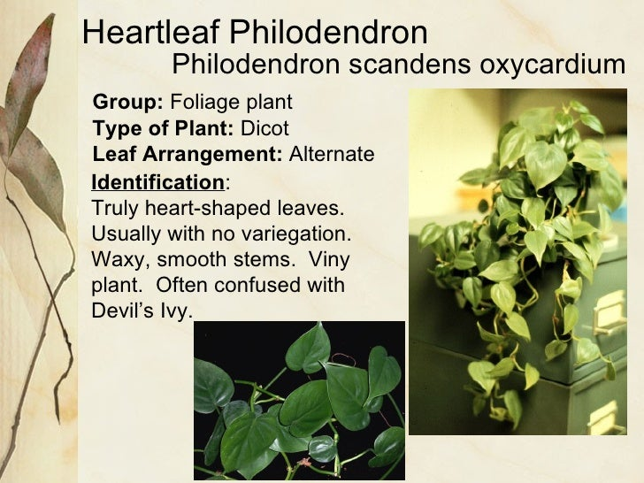 Heartleaf Philodendron Group:  Foliage plant Type of Plant:  Dicot Leaf Arrangement:  Alternate Identification : Truly hea...