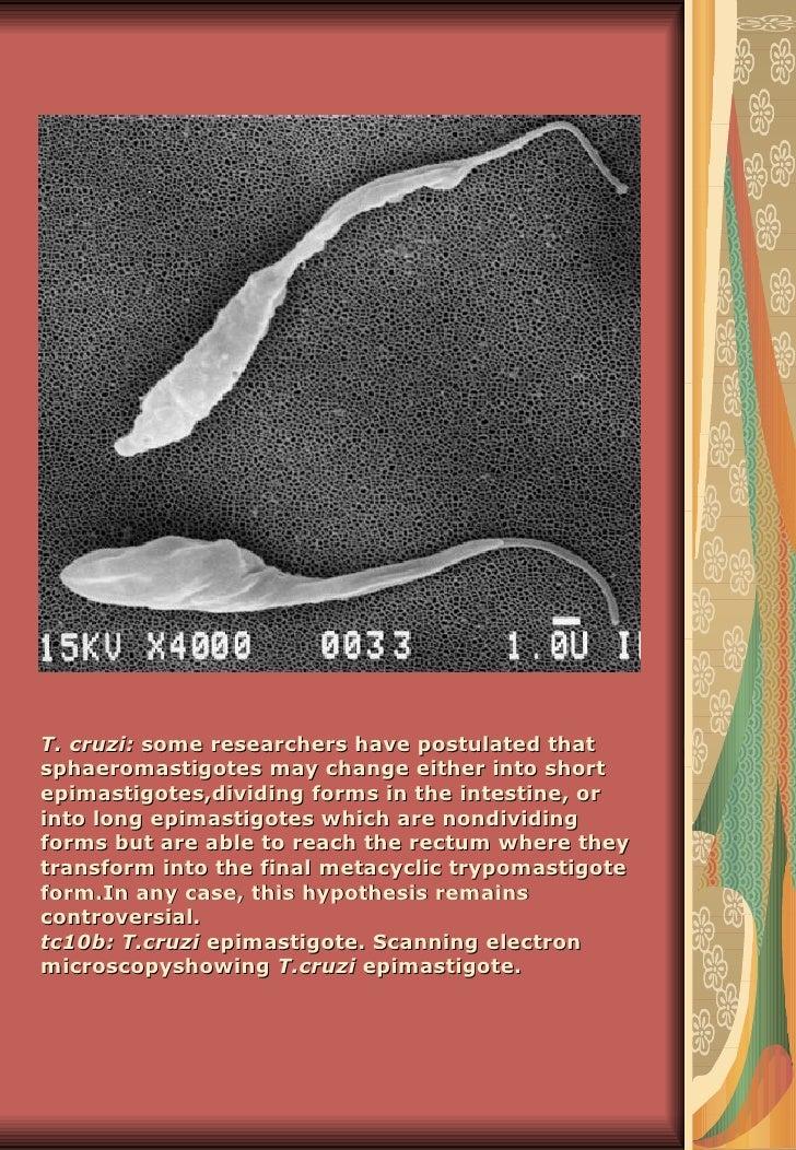 T. cruzi: some researchers have postulated thatsphaeromastigotes may change either into shortepimastigotes,dividing forms ...