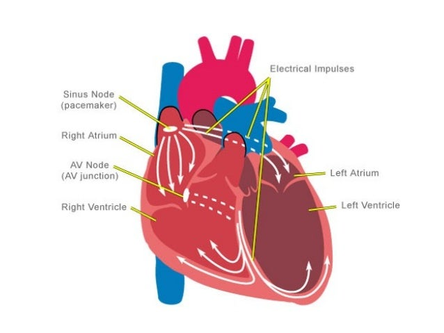 Anatomy & Physiology Lecture Notes - Heart physiology