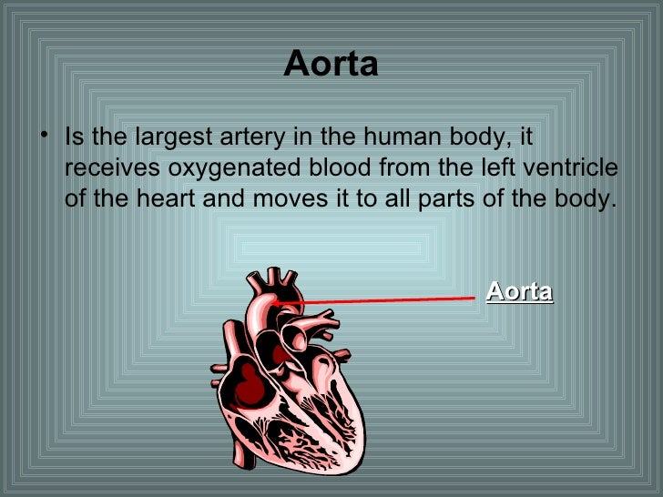 Aorta <ul><li>Is the largest artery in the human body, it receives oxygenated blood from the left ventricle of the heart a...