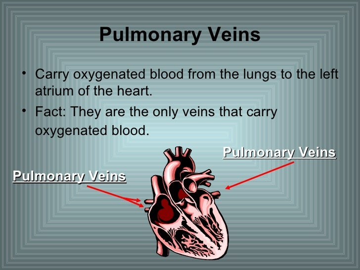 Pulmonary Veins <ul><li>Carry oxygenated blood from the lungs to the left atrium of the heart. </li></ul><ul><li>Fact: The...