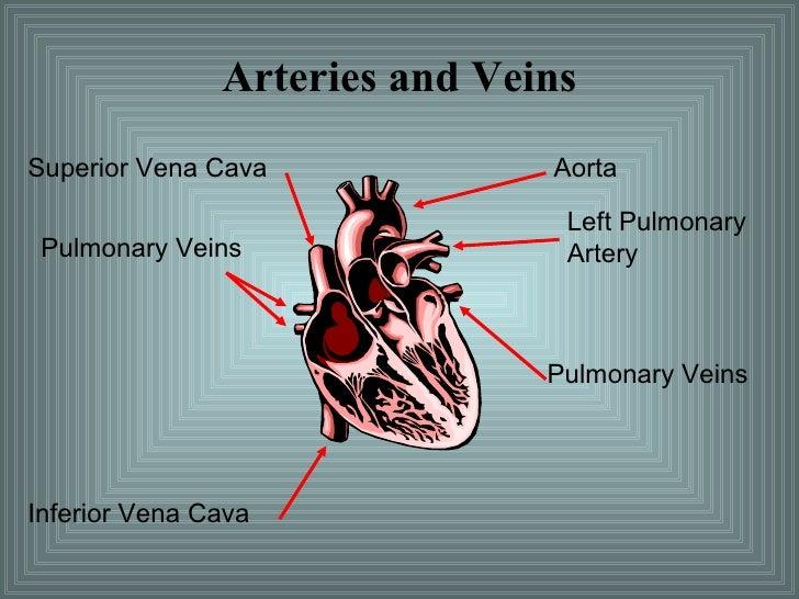 Arteries and Veins Superior Vena Cava Pulmonary Veins Inferior Vena Cava Aorta Left Pulmonary Artery Pulmonary Veins