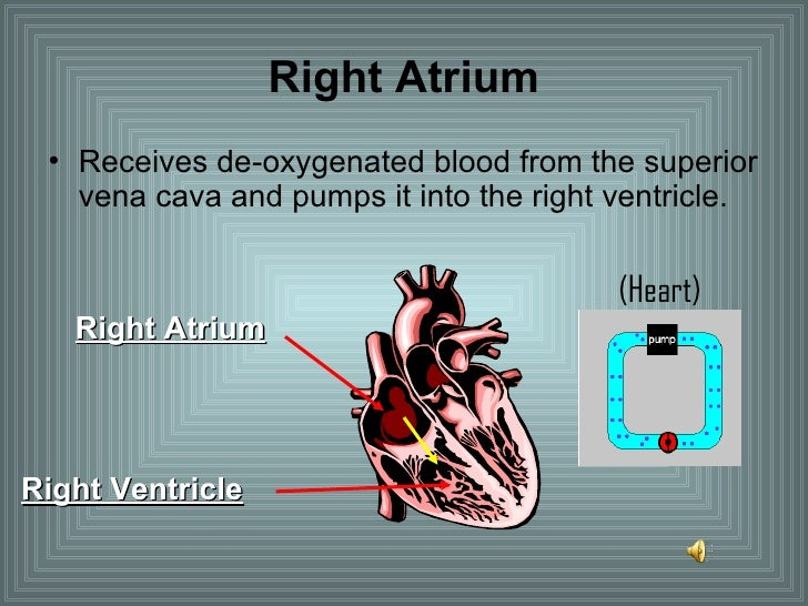 Right Atrium <ul><li>Receives de-oxygenated blood from the superior vena cava and pumps it into the right ventricle. </li>...