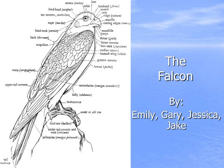 The      Falcon         By:Emily, Gary, Jessica,        Jake