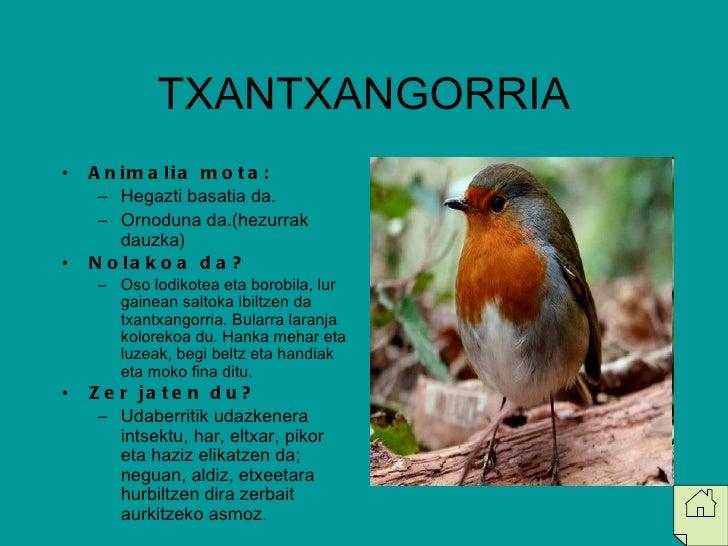 TXANTXANGORRIA <ul><li>Animalia mota: </li></ul><ul><ul><li>Hegazti basatia da. </li></ul></ul><ul><ul><li>Ornoduna da.(he...