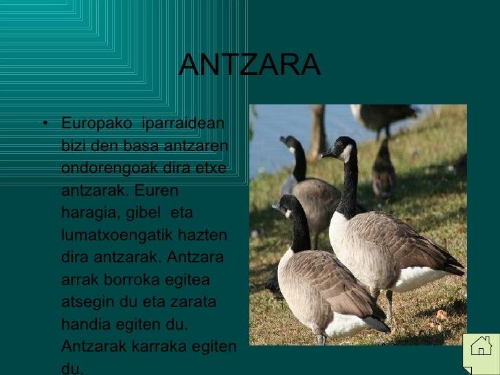 ANTZARA <ul><li>Europako  iparraidean bizi den basa antzaren ondorengoak dira etxe antzarak. Euren  haragia, gibel  eta lu...