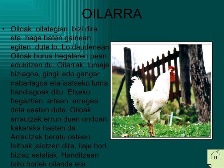OILARRA <ul><li>Oiloak  oilategian  bizi dira  eta  haga baten gainean  egiten  dute lo. Lo daudenean Oiloak burua hegalar...