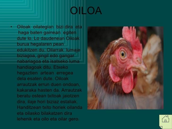 OILOA <ul><li>Oiloak  oilategian  bizi dira  eta  haga baten gainean  egiten  dute lo. Lo daudenean Oiloak burua hegalaren...