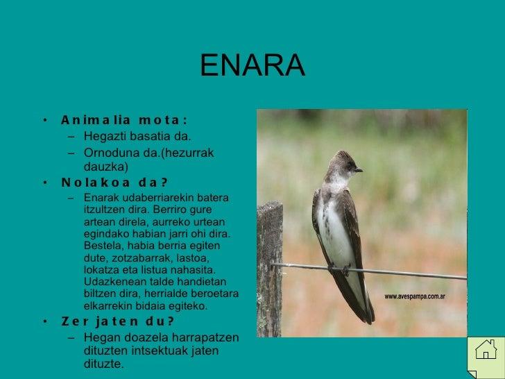 ENARA <ul><li>Animalia mota: </li></ul><ul><ul><li>Hegazti basatia da. </li></ul></ul><ul><ul><li>Ornoduna da.(hezurrak da...
