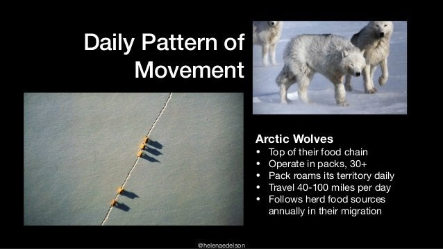 @helenaedelson Daily Pattern of Movement Arctic Wolves • Top of their food chain  • Operate in packs, 30+  • Pack roams it...