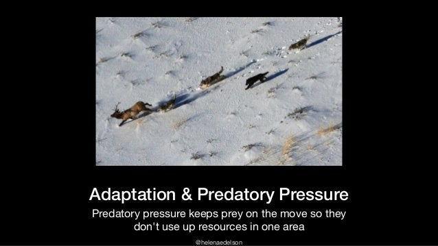 @helenaedelson Adaptation & Predatory Pressure Predatory pressure keeps prey on the move so they don't use up resources in...