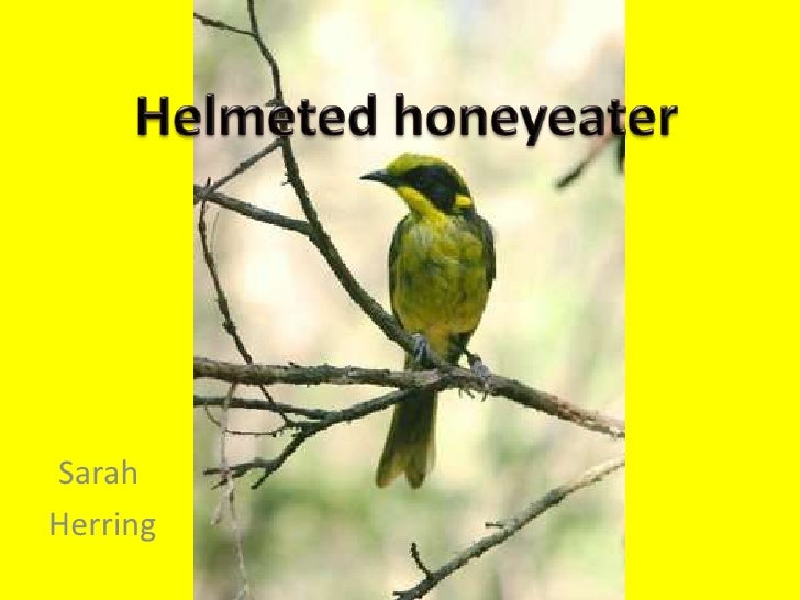 Helmeted honeyeater<br />Sarah<br /> Herring<br />