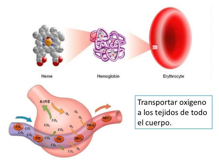 Transportar oxigeno a los tejidos de todo el cuerpo.<br />