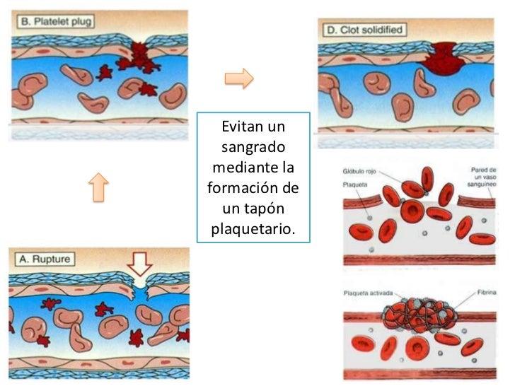 Evitan un sangrado mediante la formación de un tapón plaquetario.<br />