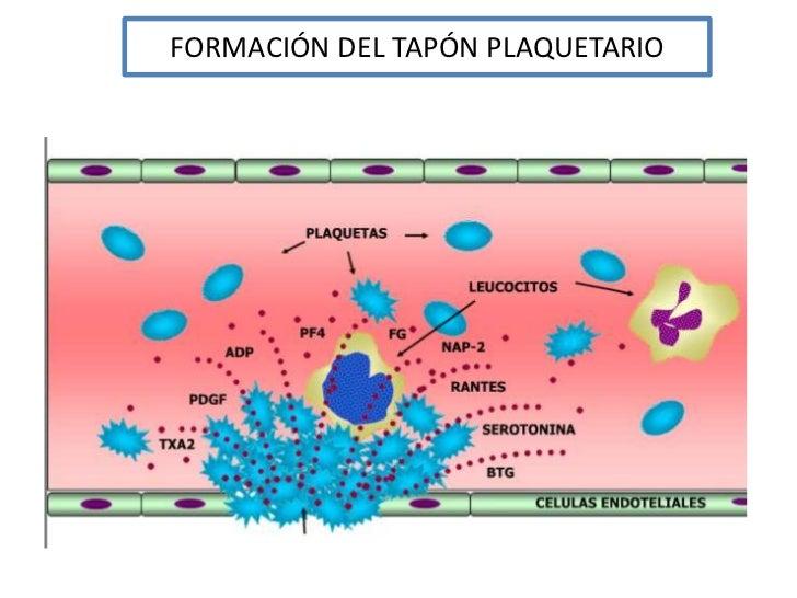 FORMACIÓN DEL TAPÓN PLAQUETARIO<br />