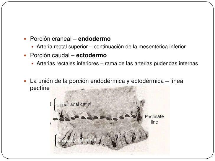 Porción craneal – endodermo<br />Arteria rectal superior – continuación de la mesentérica inferior<br />Porción caudal – e...