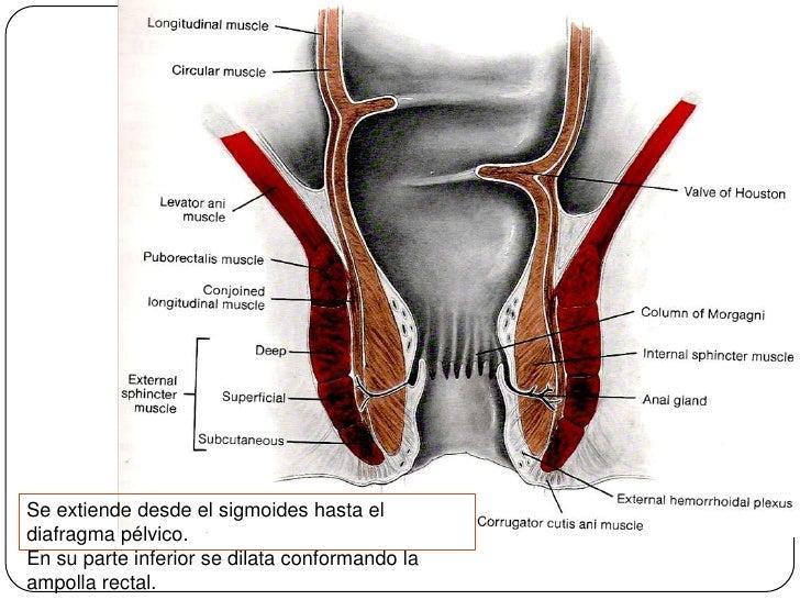 Se extiende desde el sigmoides hasta el diafragma pélvico.<br />En su parte inferior se dilata conformando la ampolla rect...