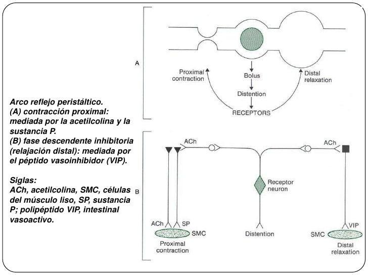 Arco reflejo peristáltico. <br />(A) contracción proximal: mediada por la acetilcolina y la sustancia P. <br />(B) fase de...