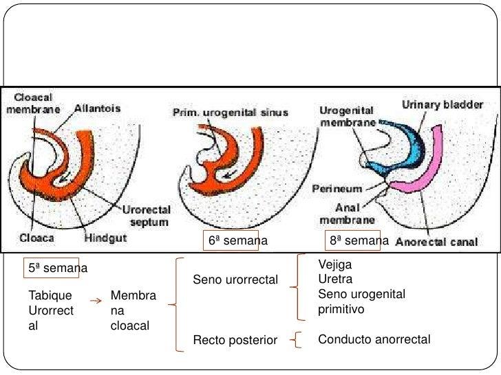 6ª semana<br />8ª semana<br />Vejiga<br />Uretra<br />Seno urogenital primitivo<br />Conducto anorrectal<br />5ª semana<br...